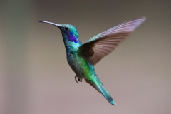 hummingbird-bird-birds-349758